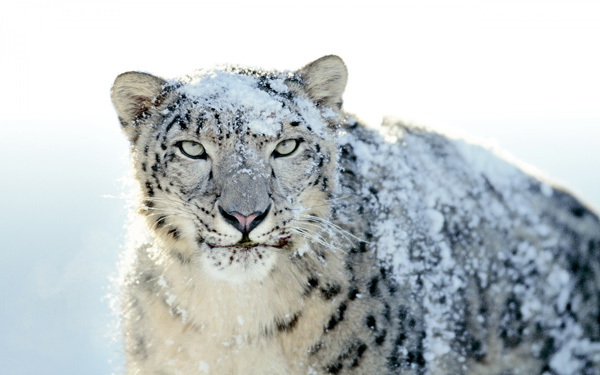 snow leopard wallpapers 14819 1920x1200 Stunning Wallpapers For Your Desktop #3