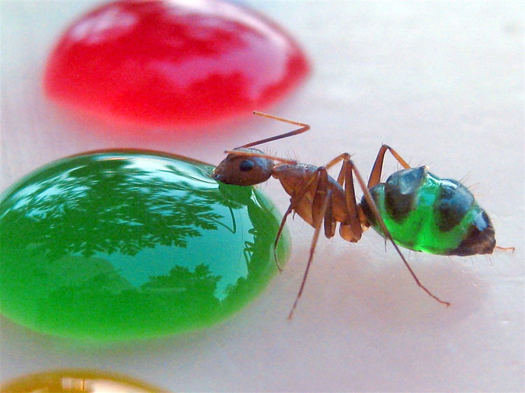 311 Tasting The Rainbow: The Ants Whose Multi coloured Abdomens Show Exactly What Theyve Been Eating