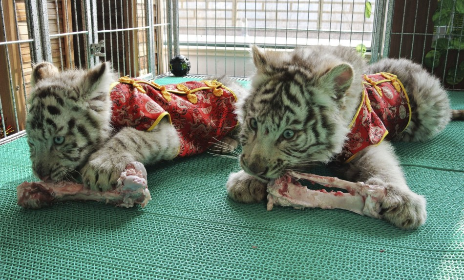 217617 bengali white tiger cubs dressed in traditional chinese clothes for th Bengali White Tiger cubs snack on bones