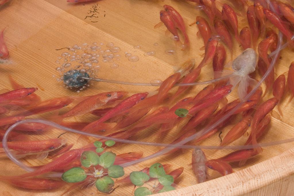 6592912871 6ac6c4185b b Goldfish Salvation by Riusuke Fukahori