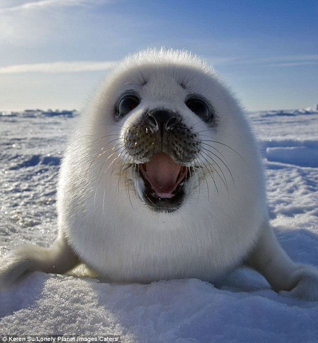 article 2085835 0F6D781400000578 455 638x689 Baby Canadian Harp Seal smiles for camera