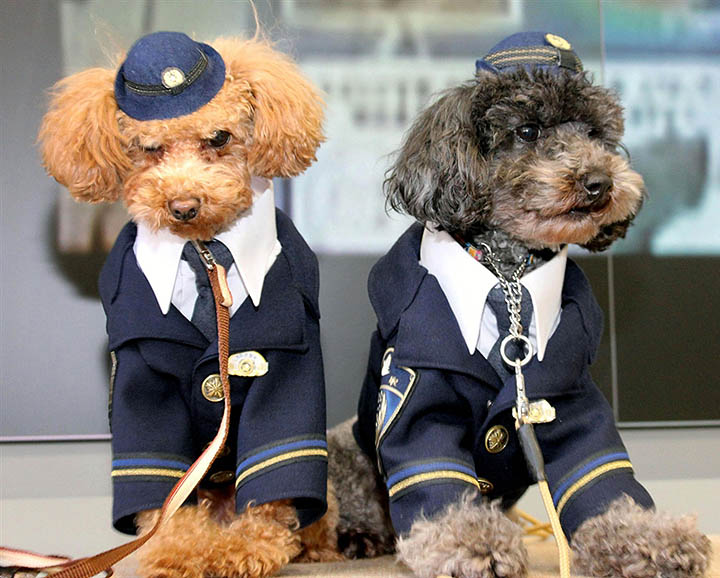 pb 120112 policedog 643p Toy poodles join Tottori Police Force