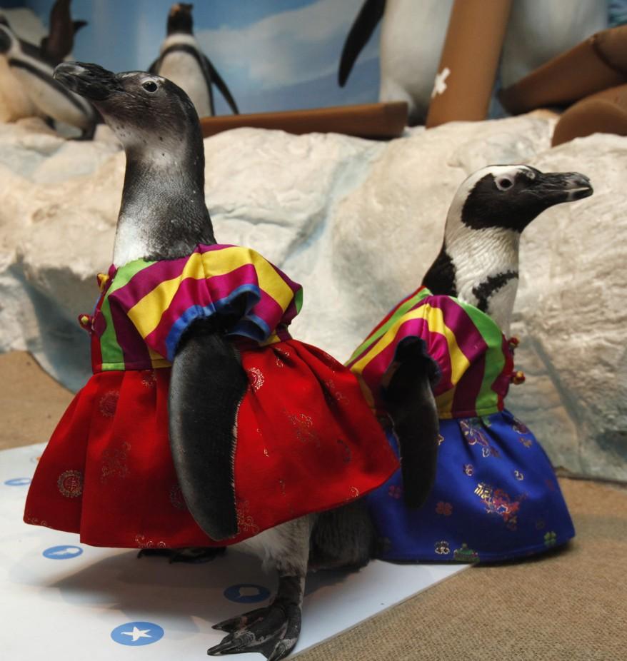 reuters south korea penguins1 18Jan12 878x926 Penguins wear Hanbok for the Lunar New Year