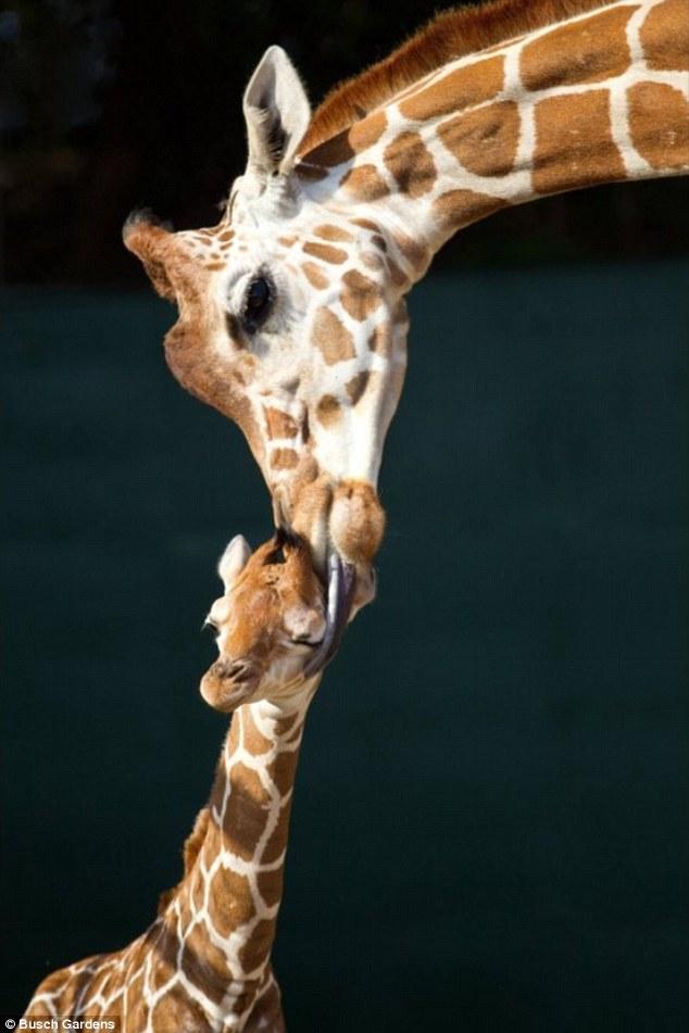 article 2096507 1197127B000005DC 493 634x951 Baby Giraffe born at Busch Gardens in Orlando