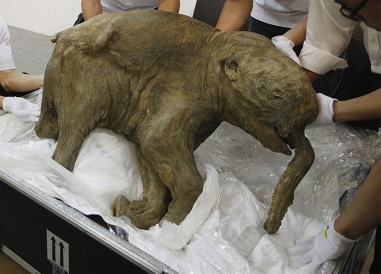196 Baby Mammoth Lyuba Goes on Display