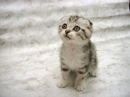 Scottish Fold Cat Wallpaper Pictures 09 Top 10 Friendly Cat Breeds for Your House