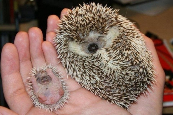 l my friends hedgehog gave birth11 45 Cute Animal Photos That Will Cheer You Up!