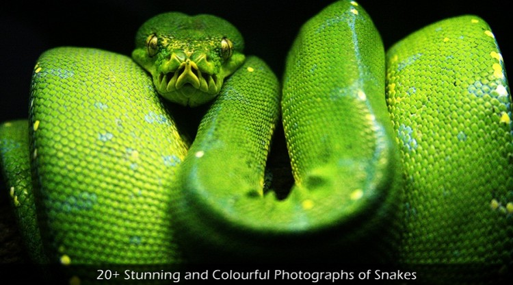 20+ Stunning and Colourful Photographs of Snakes 750x416 20+ Stunning and Colourful Photographs of Snakes