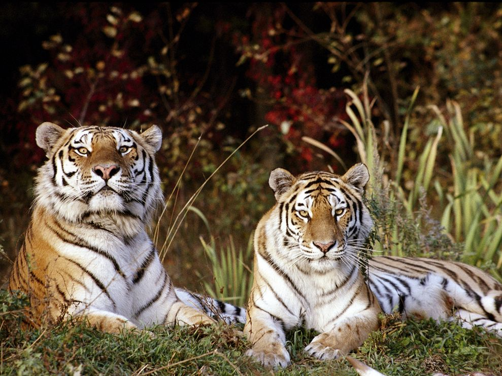 Siberian Tiger Conservation Best Wildlife Photography