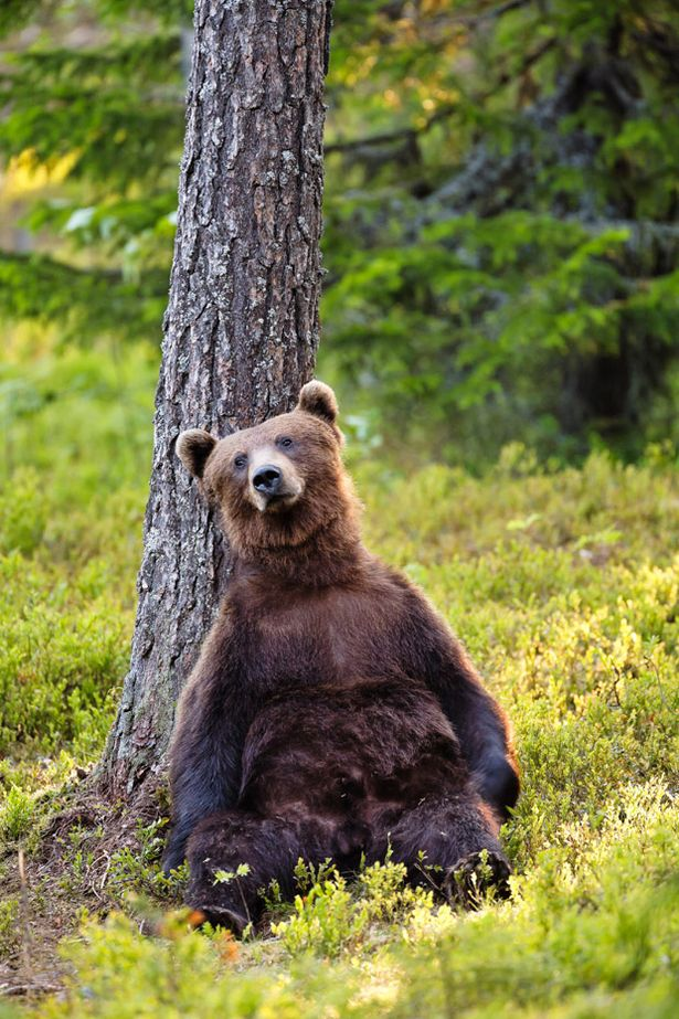 A+European+Brown+Bears+relaxes+against+a+tree+in+Kajaani+Finland Most Beautiful Animals Photos Found On StumbleUpon