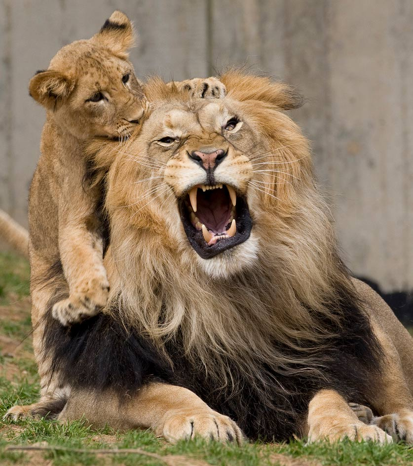 african lions Most Beautiful Animals Photos Found On StumbleUpon