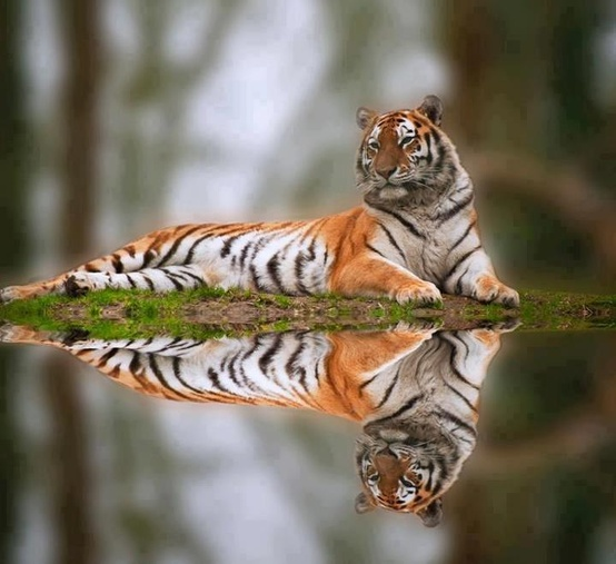 Tiger and reflection Selinas preserve Birds and Animals Pictures
