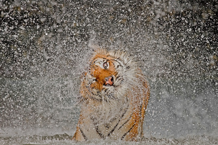tiger Winners of the National Geographic Photo Contest 2012