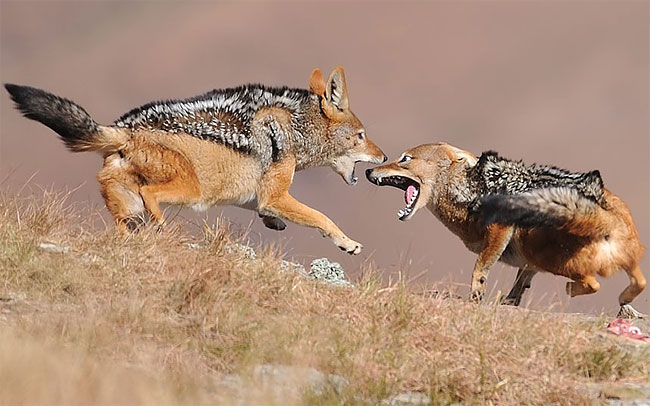158 Photo of the Day: Jackal Fighting
