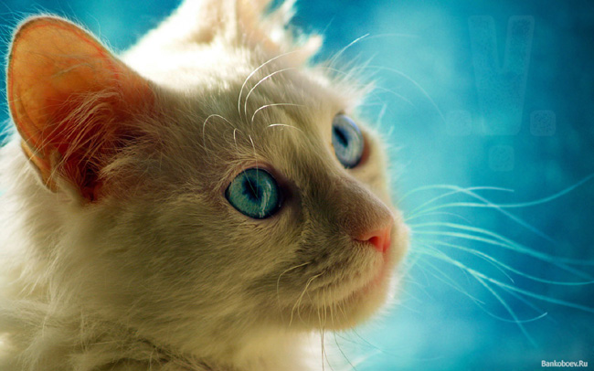 Cats with Blue Eyes 5