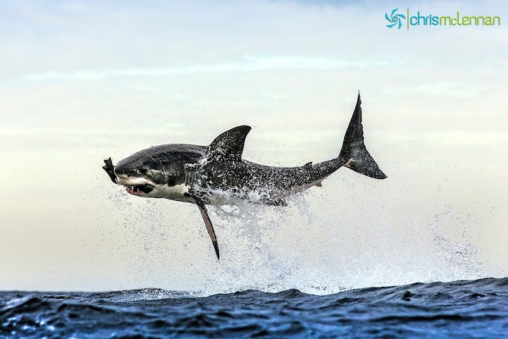 shark Perfectly Timed Photos of Great White Sharks Breaching