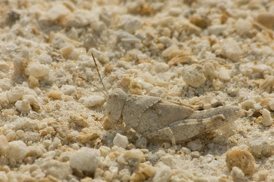 Camouflaged grasshopper Weird Examples of Animal Camouflage Photography