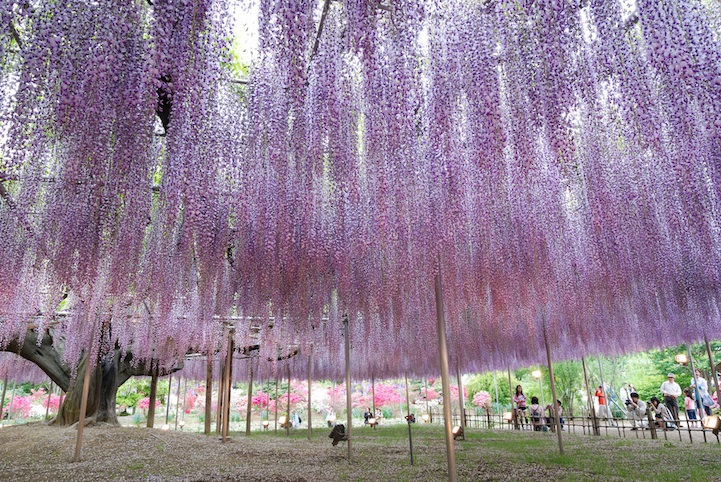 japan The Most Beautiful Wisteria Tree in the World