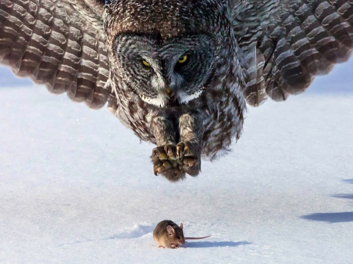 owl Perfectly Timed Photos of Animals About to Become Dinner