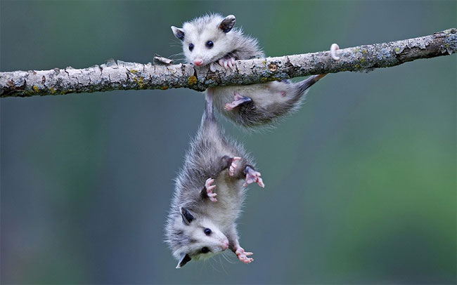 1149 Two Baby Opossums