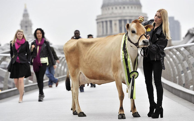 1186 Cow of the Year