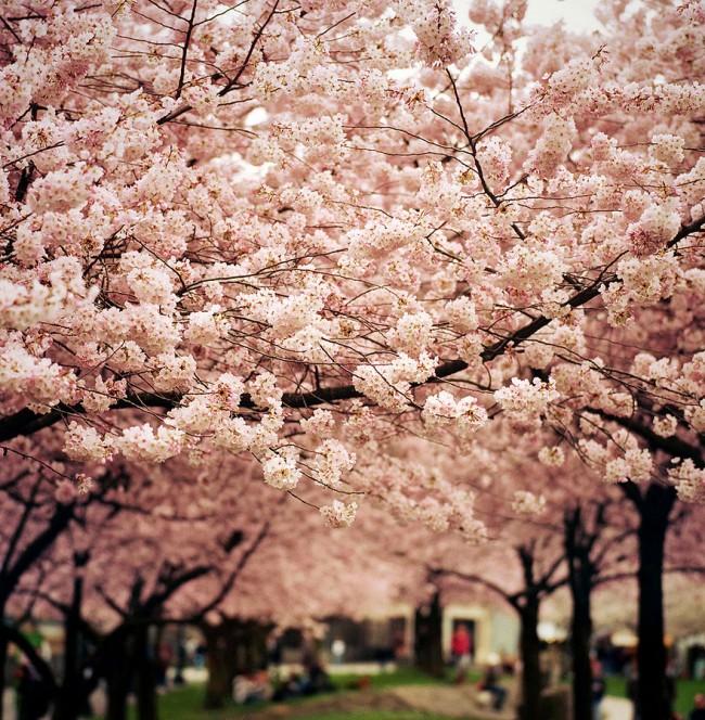 cherry blossoms sakura spring14 650x664 Cherry Blossom Around the World
