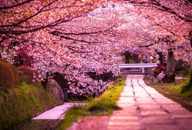 cherry blossoms sakura spring2 650x441 Cherry Blossom Around the World