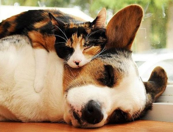 image 8 12 Photos of Cats Treating Dogs Like Pillows