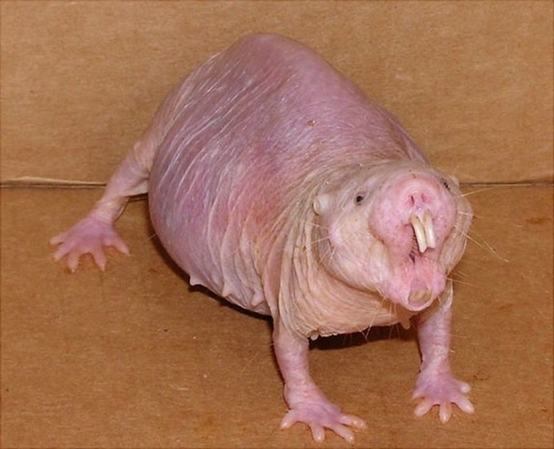 Naked Mole Rat Animals You Probably Didn't Know Exist