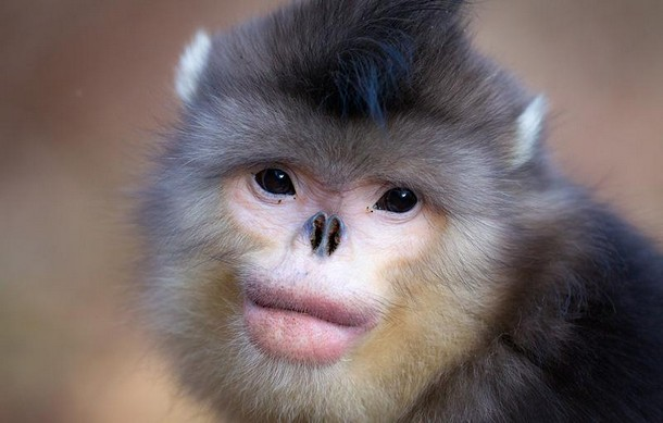 Snub Nosed Monkey Animals You Probably Didn't Know Exist