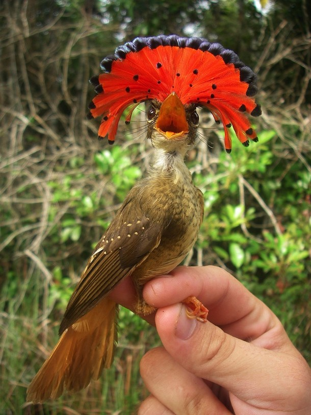 The Amazonian Royal Flycatcher Animals You Probably Didn't Know Exist
