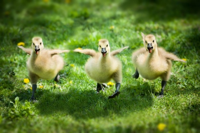 ducks 650x433 Hilarious and Heartwarming Photos of Animals as Friends