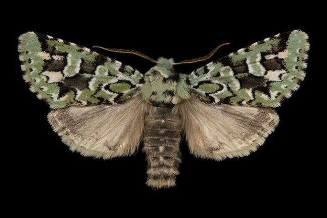 jimdesrivieresmothsatlarge 03 650x433 Jim des Riviéres' Moth collection