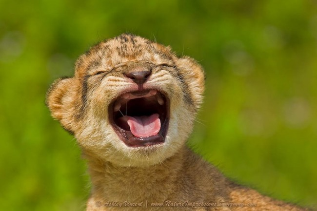 lion01 650x433 Heart Melting Photos of Baby Lions and Leopard Cats
