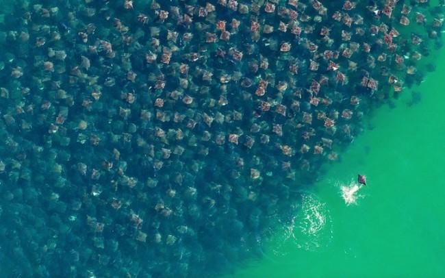 stingrays 650x406 12 Amazing Photos of Animals Congregating Together
