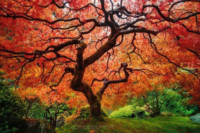 japanesemaple 650x433 12 Fantastic Photos of Fall Trees Exploding with Color