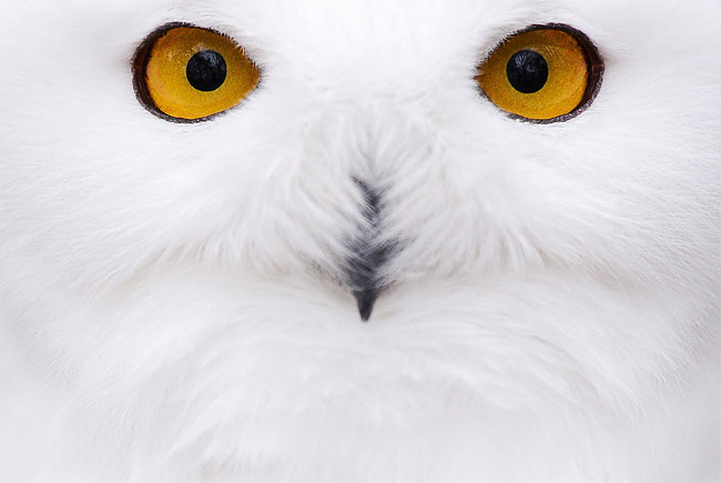 150 Photo of the Day: A Snowy Owl