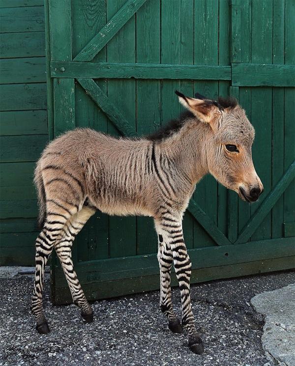 ippothezonkey1 1 Adorable Italian Zonkey is Half Zebra, Half Donkey