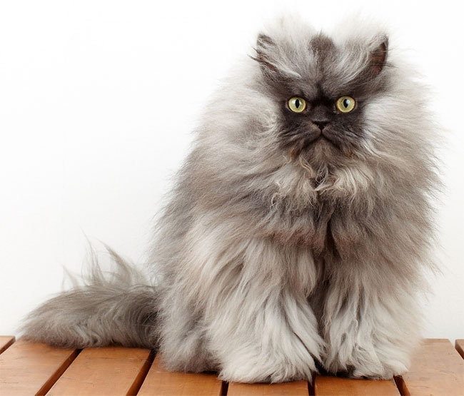 044 Rest in Peace. Worlds Angriest Cat Colonel Meow is Dead.