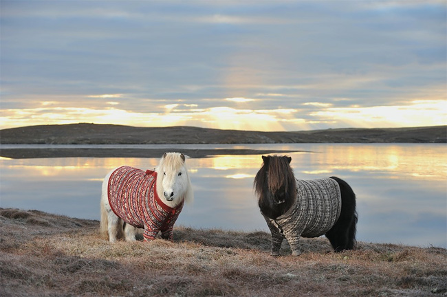 1166 Shetland Ponies Wearing Cardigans