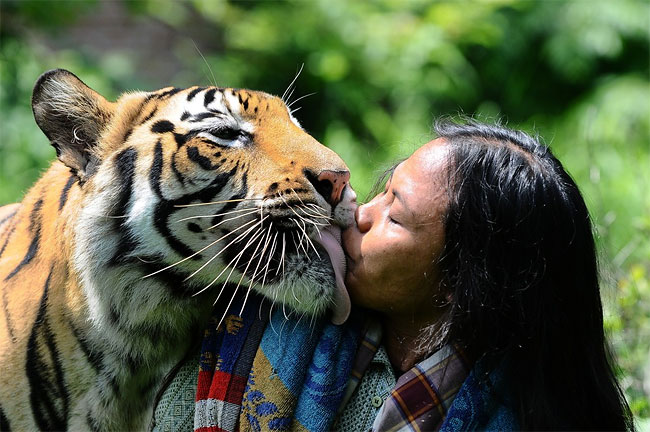 1265 Indonesian Man Best Friends with 28 Stone Bengal Tiger