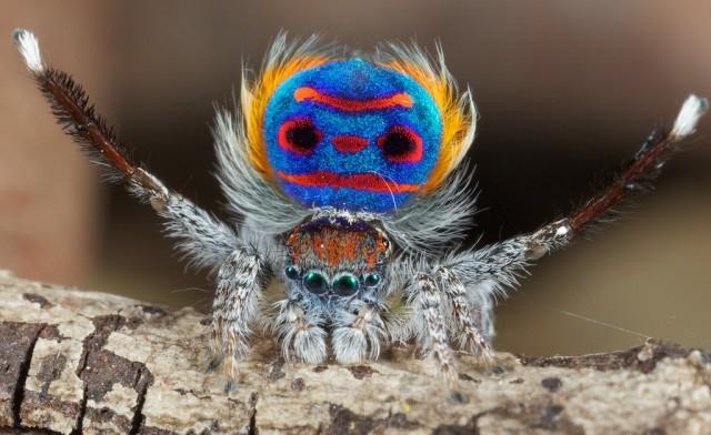 1355911904 1 640x392 Unique Peacock Spider in Australia