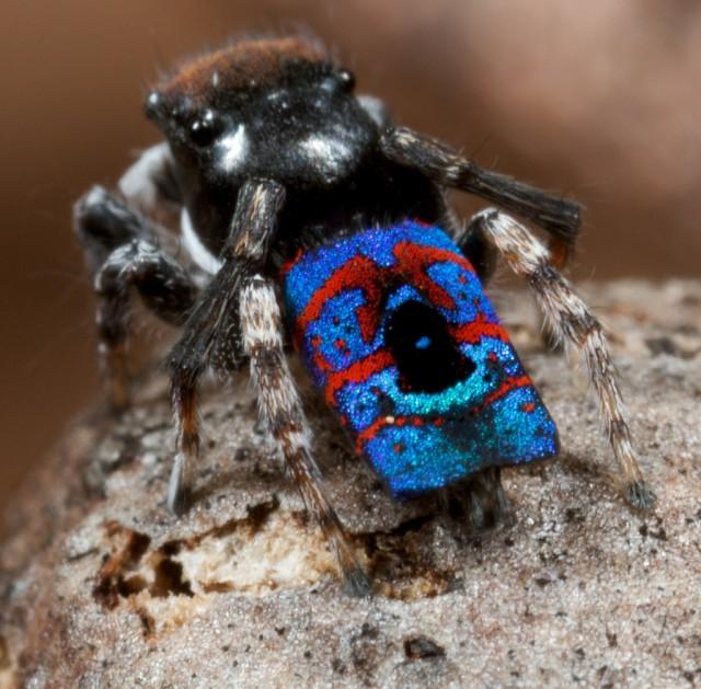 1355911924 2 640x629 Unique Peacock Spider in Australia