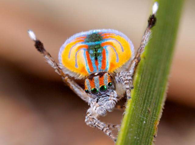 1355911943 4 640x475 Unique Peacock Spider in Australia