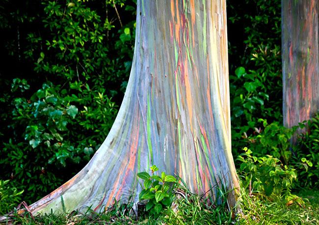 rainbow eucalyptus trees on maui hawaii