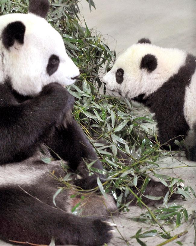 Знакомства панда