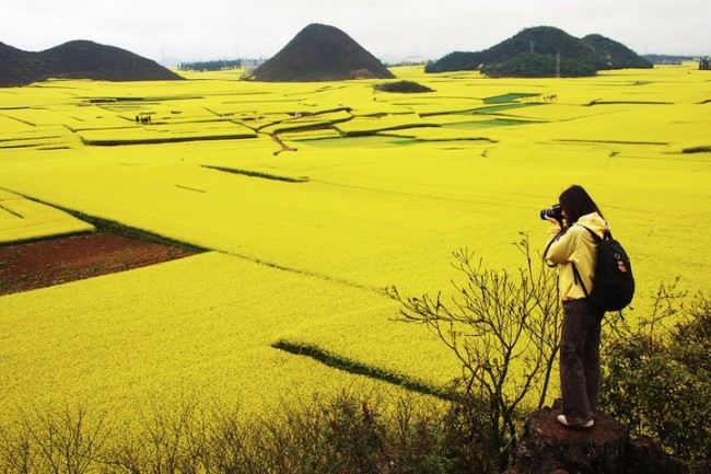 luoping01 650x433 Golden Sea of Canola Flowers in Luoping, China