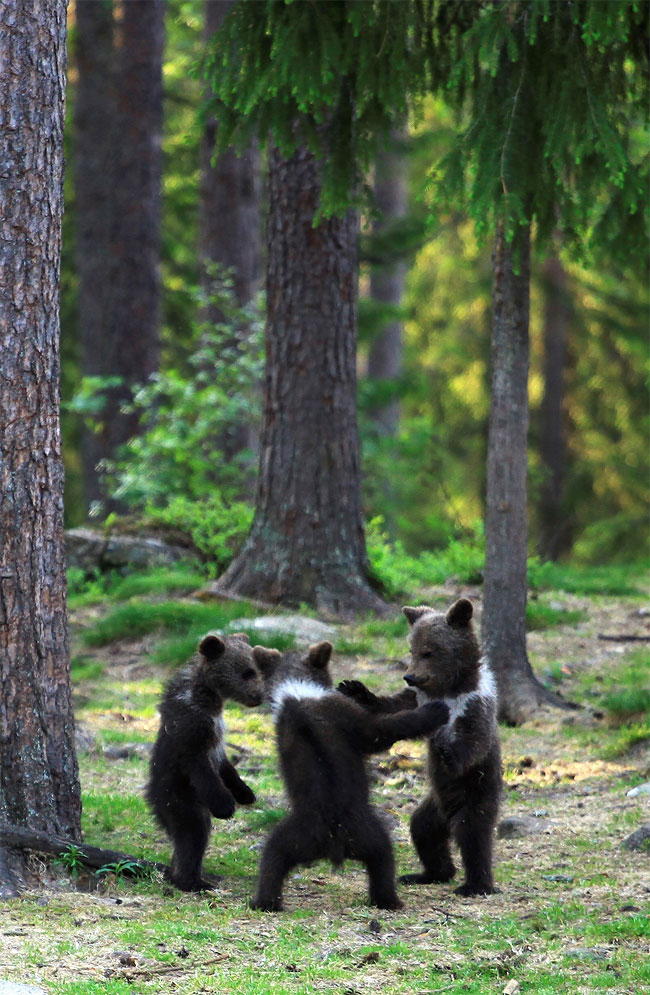 104 Adorable Moment Baby Bear Cubs Grasp Paws and Dance Joyfully in a Circle