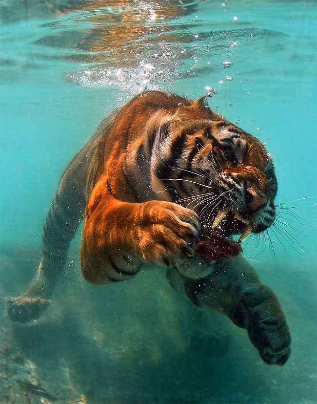 114 Photo of the Day: A Hungry Tiger