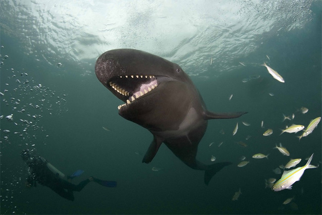 "1156 ""Smiley"" False Killer Whale"